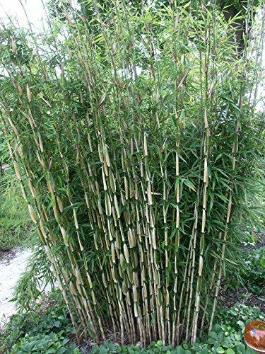 Horstbildender Bambus (ohne Ausläufer)